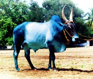 Blue Cow- ભૂરી ગાય