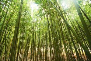 Bamboo_Trees